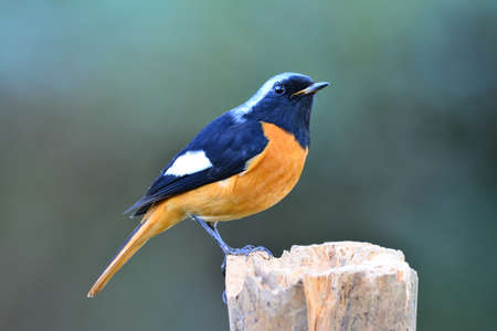 Male of Daurian redstart (Phoenicurus auroreus) most colorful bird with orange belly silver head and black face perching on wooden pole during winter visit to Thailand