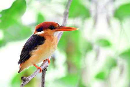 Juvenile of Oriental Dwarf Kingfisher perching on thin branch under bushy cover over small stream in tropical country
