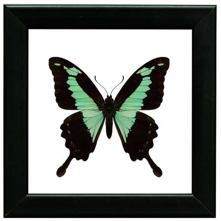 Apple-green or green-banded swallowtail (Papilio phorcas) beautiful pale green butterfly in black frame collection Фото со стока