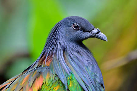Head shot of Nicobar Pigeon with grey metal looked feathers on its face and nect with bright bronze on its body