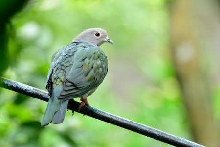 Green imperial pigeon perching on black pipe over green environment