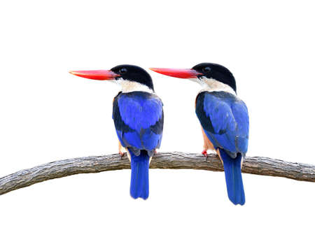Pair of blue birds with red bills and black head perching on wooden branch isolated on white background, Black-capped Kingfisher (halcyon pileata)