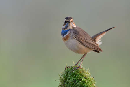Bluethroat (luscinia svecica) lovely standing on top of moss grass with dew drop expose over warm morning sunlight