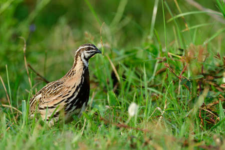 Rain or black-breasted quail (Coturnix coromandelica) in its living environment with habitat in open grassland and meadow field