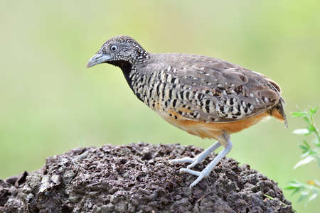 common ground bird living on grassland and plantation expose to strong lighting when stepping on old dirt pole, female barred buttonquail Standard-Bild