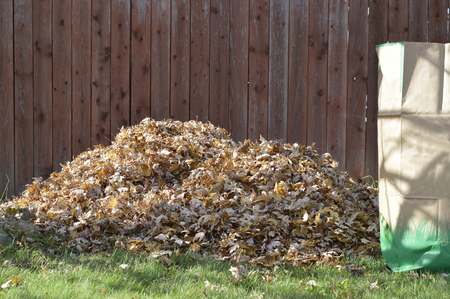 Maple leaves raked into a pile