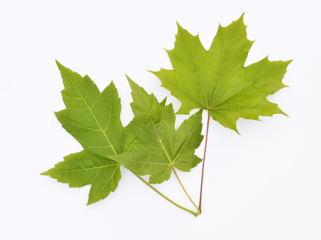 Three maple leafs isolated on white Banco de Imagens