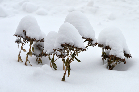 Winter Flowers are covered in snow, like mini trees in a forest, plants with a snow cap