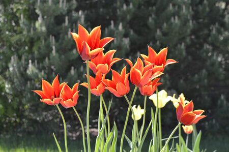 Red and yellow tulips blossom and open wide in the early morning sun. Signal that good weather and longer days are here.