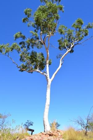 White gum tree in the Red Centre desert around Alice Springs, Australia photo