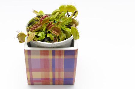 Venus flytrap plant (dionaea muscipula) in a square pot. photo