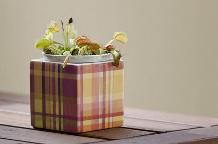 Venus flytrap plant (dionaea muscipula) in a square pot on wooden table. photo