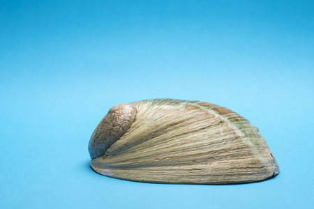 Close up photo of abalone shell isolated on blue background, copy space Stock Photo