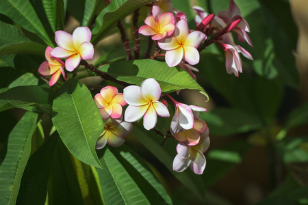 Group of yellow white and pink flowers on a green natural background, Frangipani, Plumeria.