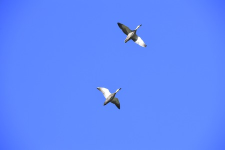 Two ducks in flight in a blue sky, Sydney, Australia