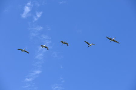 Group of pelicans in flight in a blue sky, Sydney, Australia