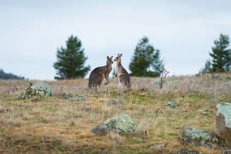 Kangaroos in open field during a cloudy wet day. Kosciuszko National Park, New South Wales, Australia.