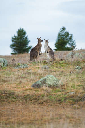 Kangaroos in open field during a cloudy wet day. Kosciuszko National Park, New South Wales, Australia. 스톡 콘텐츠 - 152138029