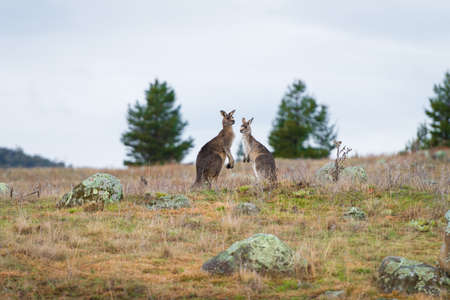 Kangaroos in open field during a cloudy wet day. Kosciuszko National Park, New South Wales, Australia. 스톡 콘텐츠 - 152137850