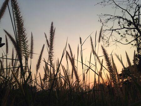 grassen in de zonsondergang.