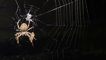 The male and female spider Crusader prepare a place for eggs in the middle of the summer night Редакционное