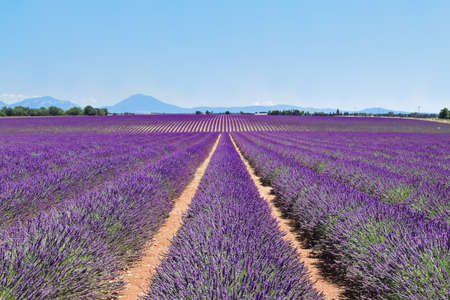 Field of blooming lavender grows in even rows. Provence, France