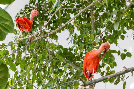 Two birds Scarlet ibis are admired by the reddish coloration of feathers
