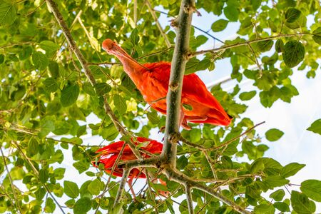 Two birds Scarlet ibis are admired by the reddish coloration of feathers Standard-Bild - 127121194