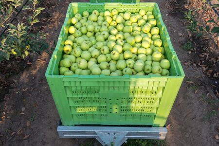 300 kg of fresh Golden Delicious apples in a plastic green crate, Serbia
