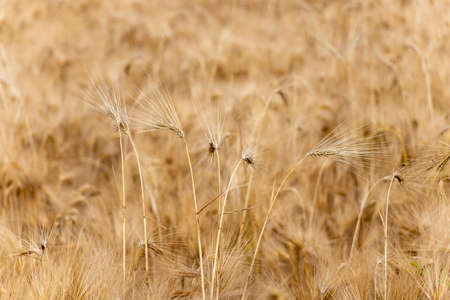 Wheat field. Ears of golden wheat close up. Agricultural field in Serbia