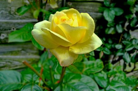 Beautiful bright yellow roses, as flowers in my garden behind the fence, with blurred green leaves in the background.