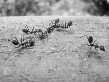 Red ants on trees, small animal team, helping friends injured and dead, on a large brown bamboo trunk, close-up focus photography concept, garden in the Thailand, vintage concept. Banque d'images