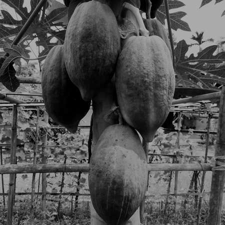 Papaya fruit on the tree in a natural organic garden, with has black and white papaya fruits, many papayas, asia Thailand, vintage background concept. Reklamní fotografie