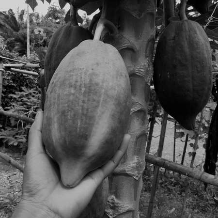 Papaya on a tree in natural organic garden, with hand holding the rope dark papaya, And black and white fruit, vintage image concept, species, asia, Thailand.
