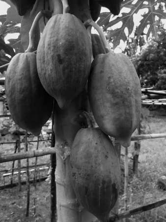 Papaya fruit on the tree in a natural organic garden, with has black and white papaya fruits, many papayas, asia Thailand, vintage background concept. Reklamní fotografie - 151147669