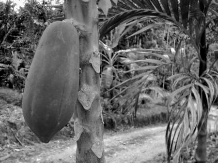 Papaya fruit on the tree in natural organic garden, with a black and white papaya fruit concept, in the countryside, Ranong, Thailand.