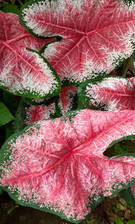 Pink and green leave texture for background, close up tropical nature fancy leaf caladium, image tone filter colorful style, forest and travel adventure concept.