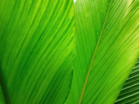 Green leave texture for background, close up tropical nature green leaf caladium frame, image tone filter color style, forest and travel adventure concept. Reklamní fotografie