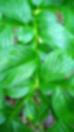Green leave texture for blurred background, close up tropical nature green leaf caladium frame, image tone filter color style concept.