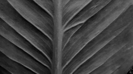 Black and white leave texture for background, close up tropical nature dark leaf caladium frame, image tone filter vintage style, forest and travel adventure concept.