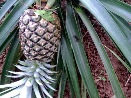 Bright picture pineapple still raw on the farm, with spigot attached, The background in tropical garden, south of Thailand.