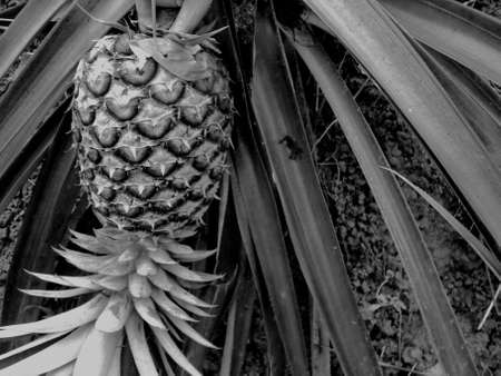 Black and white picture pineapple still raw on the farm, with spigot attached, The retro background, vintage picture concept. Reklamní fotografie