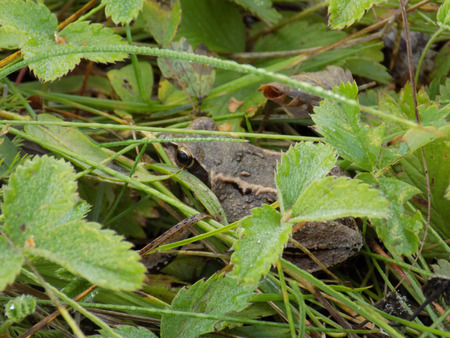 strawberry frog: frog sitting in the green grass in the morning