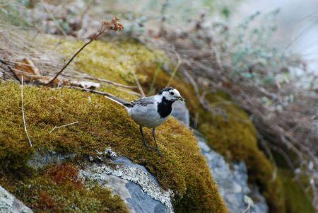 motacilla: Motacilla blanco (Motacilla alba)  Foto de archivo
