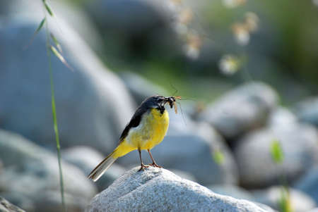 wagtail on the stone with insects in the beak photo