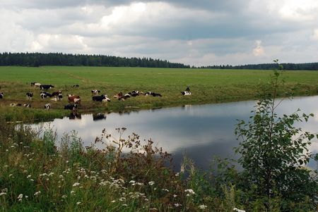 herd of cows on the lakeside photo