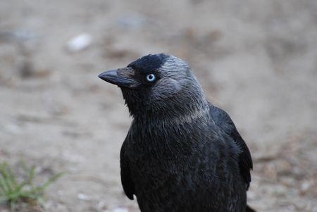 jackdaw: Corvus monedula, or jackdaw