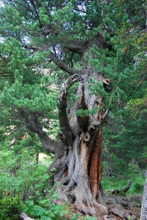 vanished: old cedar, Gorny Altai, Russia Stock Photo