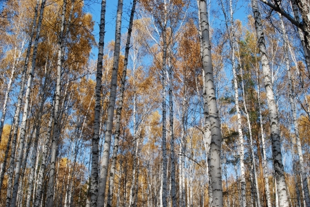 birch grove with yong trees in autumn photo