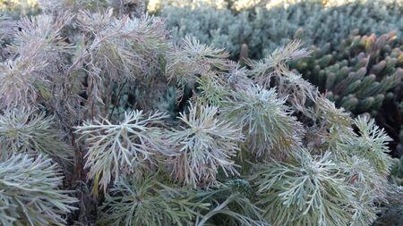 kawaguchi ko: Herb tree at Oishi Park Stock Photo